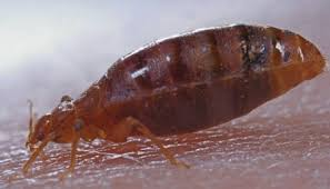 What Does Bed Bugs Look Like Burchy U0027s Pest Control