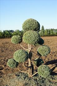 Pom Trees Find Plants Wholesale Nursery Supplies U0026 Plant Growers In Oregon