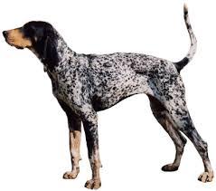bluetick coonhound weight bluetick coonhound history u0026 training temperament