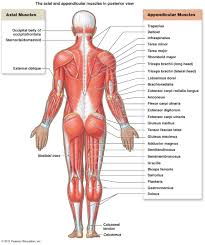 Anatomy Structure Of Human Body The Muscular System Micro And Macro Anatomy