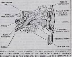 Outside Ear Anatomy Anatomy Of Ear Cochlea Membrane Internal Fig External Canal