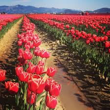 Tulip Festival Map How To Attend The Skagit Valley Tulip Festival U2022 Valerie And Valise