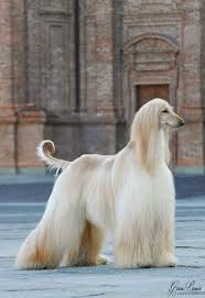 afghan hound breed 13 best afghan hound images on pinterest afghans beautiful dogs