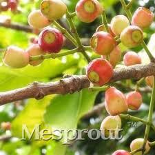 50pcs myrtaceae cleistocalyx operculatus seeds no gmo home garden