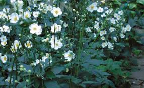 anemone plant fall blooming anemones finegardening