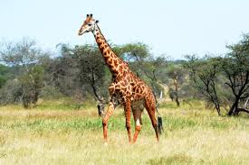 there are four species of giraffes not one new study