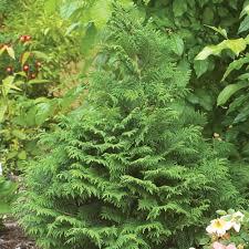 soft serve false cypress chamaecyparis pisifera proven winners