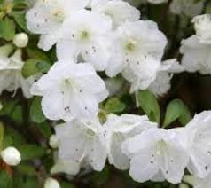 White Flowers Pictures - best 25 azaleas landscaping ideas only on pinterest weeds