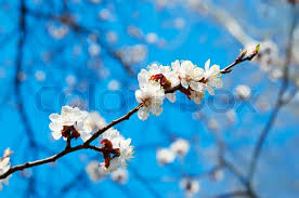Trees With White Flowers Branch Of The Apricot Tree With White Flowers Stock Photo