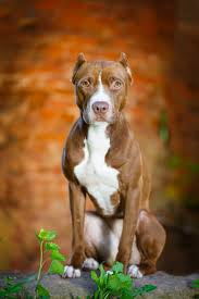 10 boxer dog facts 10 dog breeds mistaken for pit bulls simply for dogs