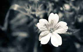 59 entries in black and white flowers wallpapers group