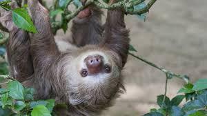 4 toed sloth sloth leaves ngsversion 1396530758131 jpg