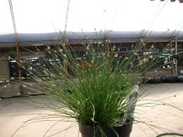 parks brothers farm wholesale plants isolepsis grass