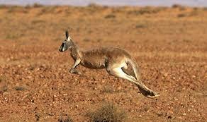 koala express interesting and amazing facts about the australian