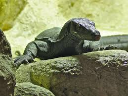 water monitor water water monitor melanistic color form