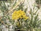 Image result for Polygala ramosa
