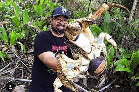 look huge coconut crab caught in australia upi com