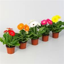 gerbera plant gerbera plant in assorted colours pack of three