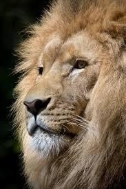 imagenes de leones salvajes gratis imagen de leones foto gratis