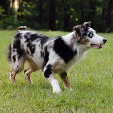 australian shepherd indiana turkey run australian shepherds breeders of top quality working