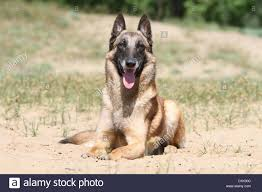 belgian shepherd or malinois dog belgian shepherd malinois lying down stock photo