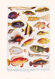 1947 fish print vintage antique home decor art illustration for