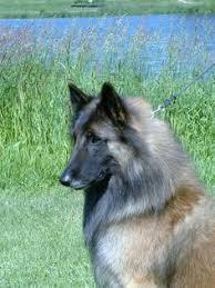 belgian sheepdog hypoallergenic pin by mollar on doggy pinterest dog and shepherd dog