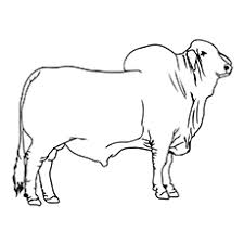10 cute bull coloring pages toddler