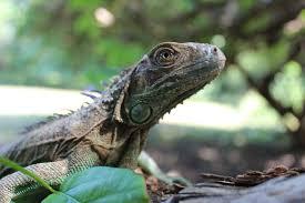 imágenes de iguanas verdes fundación miguel facusse libera más de mil iguanas verdes hondudiario