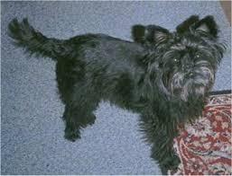 affenpinscher coat type affenpinscher dog breed information and pictures