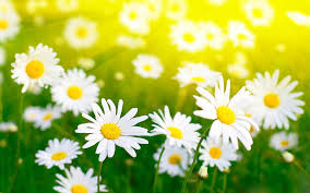 daisy flower wallpapers hd pictures u2013 one hd wallpaper pictures
