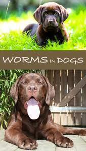 worms in dogs how to keep your labrador worm free