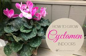 Plants To Grow Indoors Plant Care How To Care For Cyclamen Plant Indoors