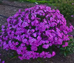 phlox flower cloudburst cushion phlox phlox hybrid proven winners