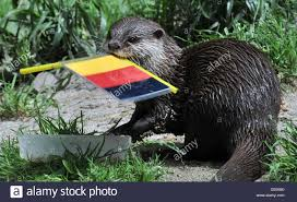 otter lady ferret carries the german national flag in its snout as
