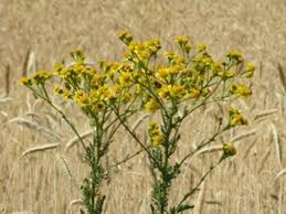 10 Most Poisonous Plants For Horses The Horse Owner U0027s Resource