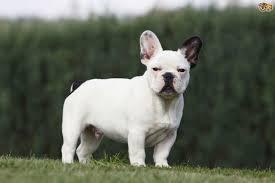 Bred Si E Social Bulldog Breed Information Buying Advice Photos And