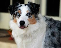 australian shepherd catahoula mix 75 best catahoula leopard dog images on pinterest leopard dog