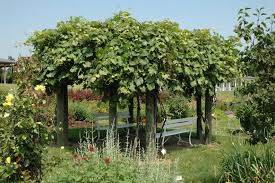 Grape Trellis For Sale Growing Grapes In The Home Fruit Planting Ohioline
