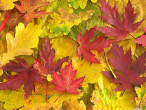 horned owl colorful fall leaves stock photo image 410340