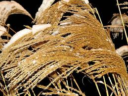 trimming ornamental grasses a bungee cord happiness the