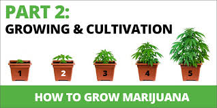 herb growing chart how to grow marijuana step 2 growing and cultivation