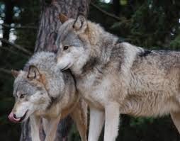 international wolf center blog archive canada