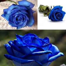 blue roses for sale egrow 50pcs blue seeds blue lover seeds diy home garden