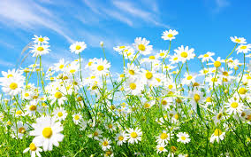 daisies background wallpaper 1920x1200 4873