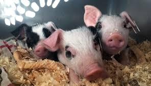 piglets thousand miles chapter farm