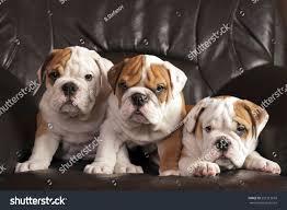 three english bulldog puppies sitting on stock photo 227213818