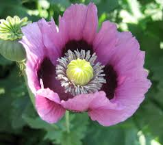 Opium Opium Poppy Flower Flowers Poppy Papaver Somnus Pink Purple