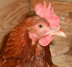 when will my hen start laying city boy hens
