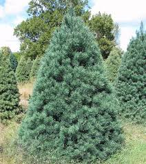 contemporary decoration scotch pine tree wholesale trees